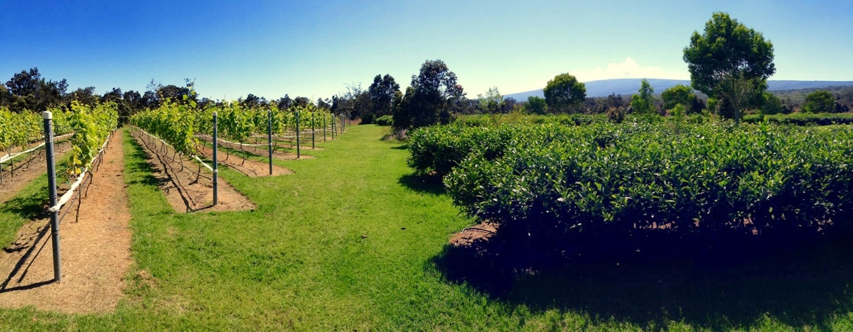 Volcano Winery's Alex Wood Talks Climate, Terroir and Cultivating Syrah on Kīlauea